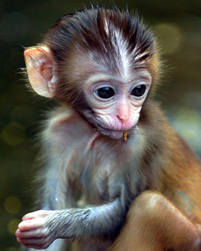 只国家二类保护动物猕猴