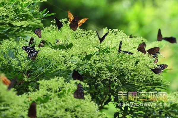 百只蝴蝶在簕欓花上采花嬉戏,景象极为壮观.黄庆优 摄-海南三亚 簕