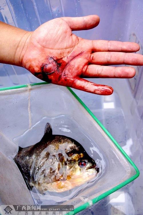食人鱼 现柳江河咬伤两人