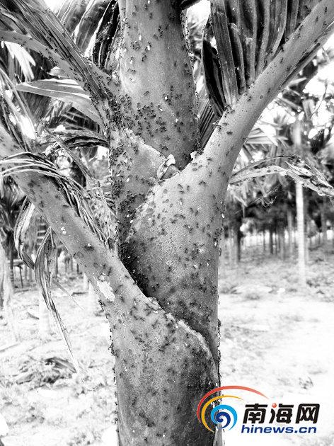 槟榔树上爬满了蚂蚁