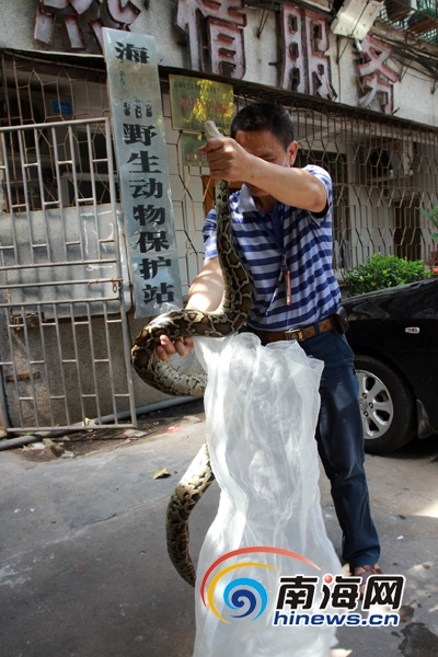 海口市野生动物保护站的工作人员向记者展示被捕获的