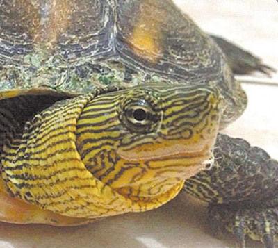 """乌龟""""小强""""是张语涵初中时的好朋友.图自台媒"""