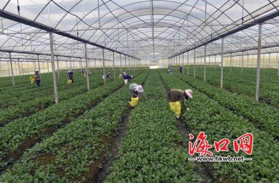 海口马坡洋大棚瓜菜种植基地旱涝保收
