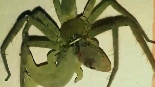 壁虎捕食壁虎视频引热议视频垂死挣扎终被吞号蜘蛛壹图片