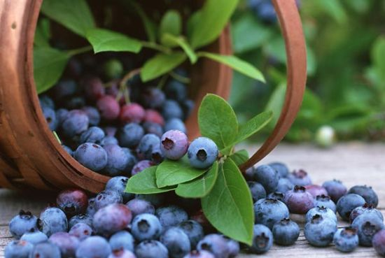 蓝莓施用有机肥的方法