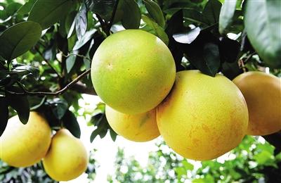科学施肥让蜜柚大丰收