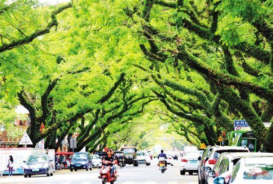 琼海中原镇藤萝雨树相映,成夏日的一道风景。记者 陈元才 摄