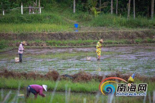 农民插秧忙 万宁晚稻将播种17.2万亩(组图)