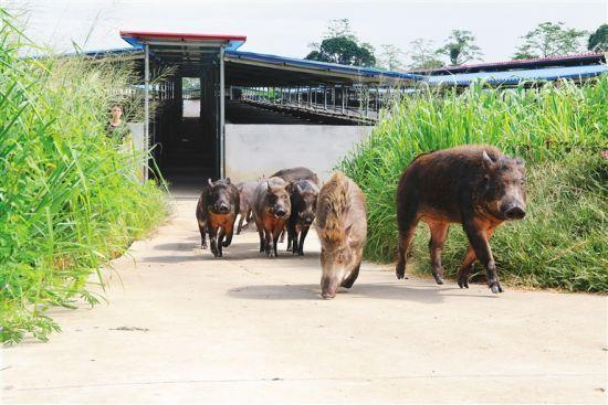 玉绿宝现代农业庄园内,特种山猪悠闲散步。