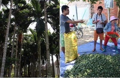 澄迈槟榔增产又增收 农户喜上眉梢