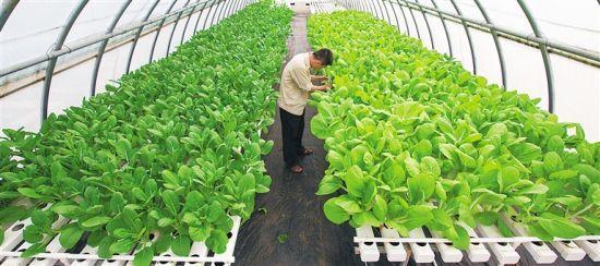 海南省推进农业科技创新,着力提升南繁科技服务水平。图为利用南繁科技建设而成的三亚热带蔬菜水耕栽培示范区。海南日报记者 武威 摄