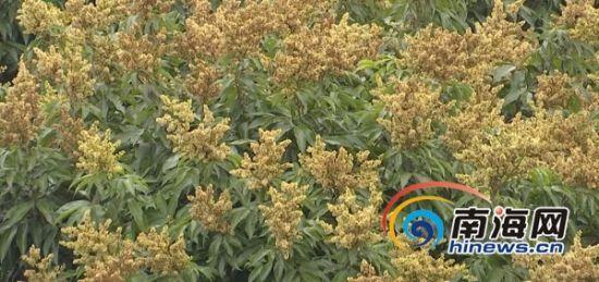 满山遍野盛开着荔枝花。南海网记者 胡丽齐 摄