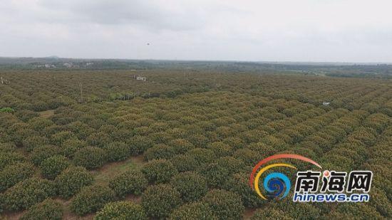 海垦红明农场公司荔枝园。南海网记者 胡丽齐 摄