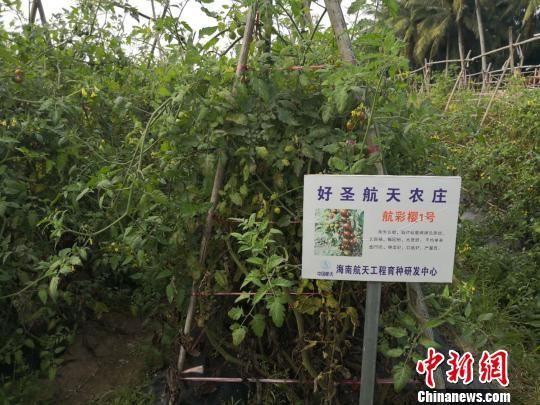 图为文昌市好圣村种植的航天育种蔬菜。 王子谦 摄