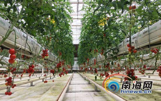 桂林洋国家热带农业公园首届果蔬采摘文化节开启。南海网记者 陈丽娜 摄