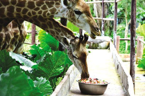"""海南热带野生动植物园的动物开启""""凉夏""""模式"""