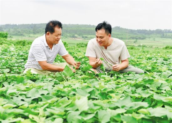 王文克(右)在杨其良负责管理的苗圃查看地瓜长势。 本报记者 李佳飞 通讯员 王家专 摄