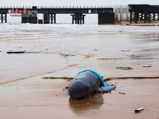 小江豚搁浅海口西海岸 数次被推入海中又游回岸边