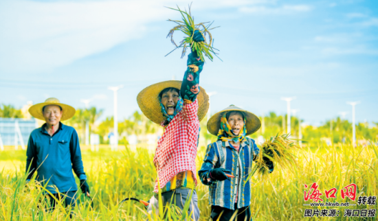 7月19日上午,在美兰区江东田园项目的金黄色稻田里,村民兴奋地向记者展示收割的稻子。记者 陈长宇 摄