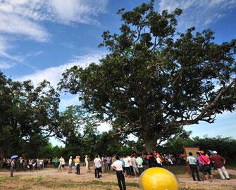百年野生芒果树群令人叫绝
