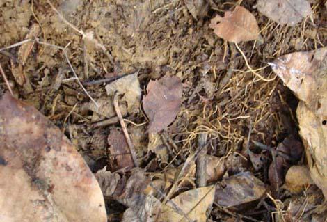 通过这次试验,使我们初步了解了橡胶树灾后根系生长的情况,也证明