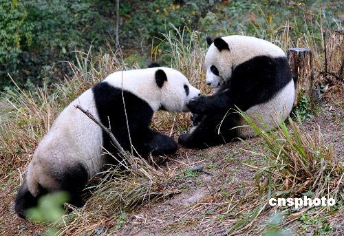 壁纸 大熊猫 动物 500_343