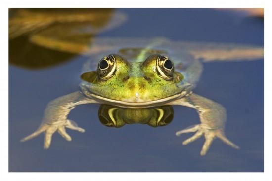 9、青蛙   冬眠是冬天的休眠,而夏眠是夏天的休眠.青蛙是最好的冬