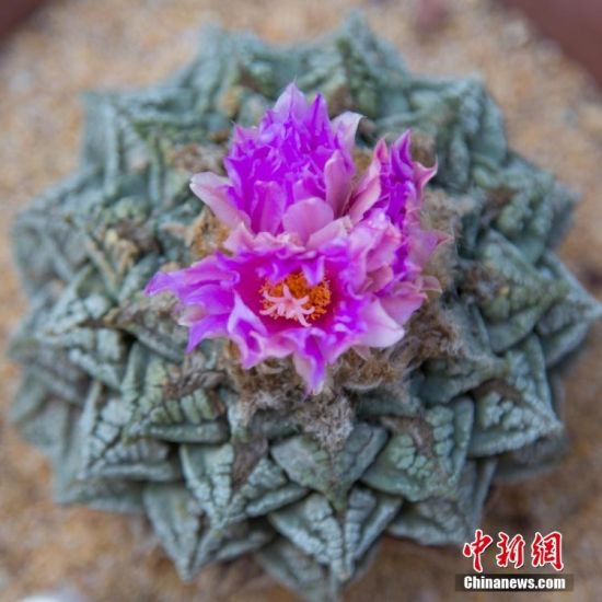 上百岁酒店龟甲开花被称为牡丹中的大熊猫植物道具情趣绵阳图片