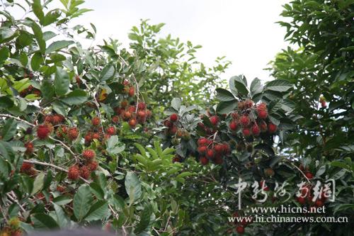 图为长满果子的红毛丹树(尹海明摄)