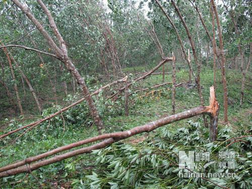 被风拦腰折断的橡胶树.黄青文 摄