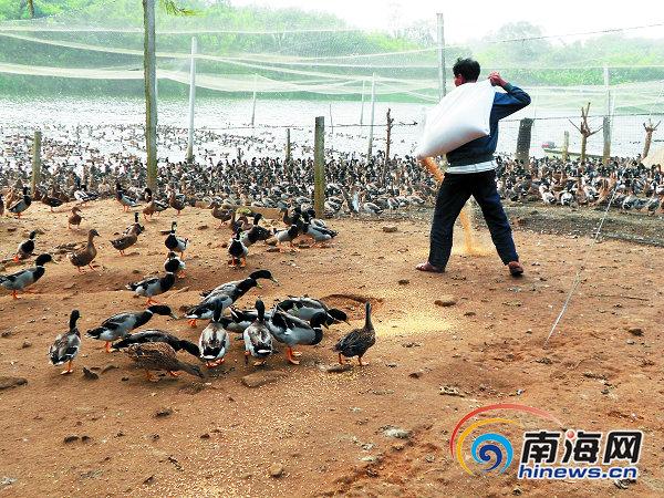 安海鸭已经成了万宁市十大国际特色之一佳肴外海美食节图片